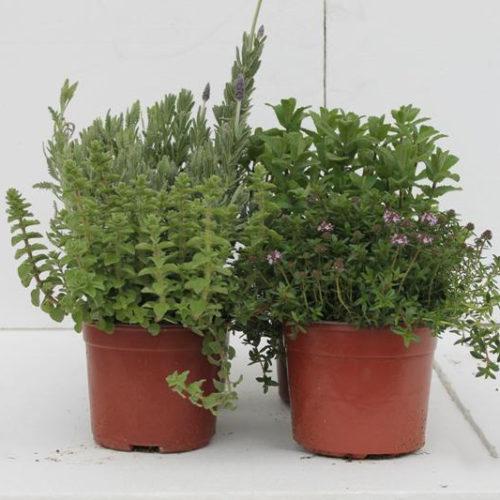 Herbs Plants